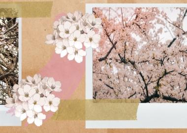 გაზაფხულის მახარობელი ნუშის ხეები თბილისში - რიტუალები, კულტურა და სახელმწიფო პროგრამები